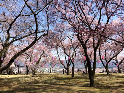 140412春日公園桜01