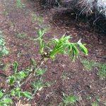 コシアブラ、タラの芽、ハリギリ、ヤマウコギ