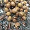おいしそうな木の実|アイシメジ,クリフウセンタケ,トチの実