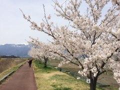 150412三峰川桜