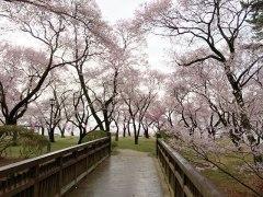 150406春日公園桜01