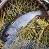 やっと魚が釣れる川に(木曽川本流 イワナ)