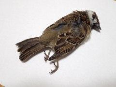 151230小鳥の羽02