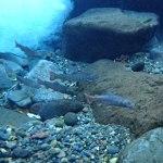 渓魚たちとの再会|イワナの水中撮影に挑戦