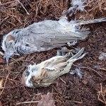 小鳥たちの霊に呼ばれる(スズメ&ヒヨドリの羽)