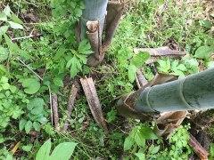 160528竹皮採り05