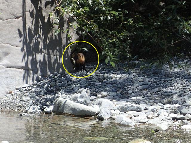 160809三峰川イタチ02