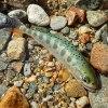 エメラルドグリーンのアマゴ|木曽川水系 フライフィッシング