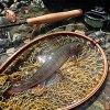 鰭のきれいなイワナ|天竜川水系 フライフィッシング