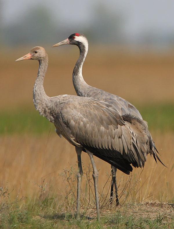 Juvenile and adult cranes during autumn migration, photo: János Oláh