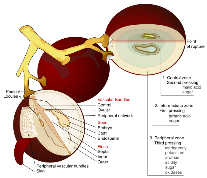 Wine_grape_diagram
