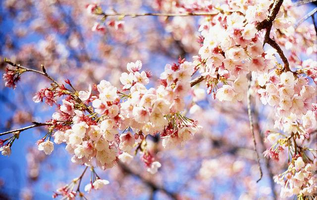 tokyo-cherry-blossom