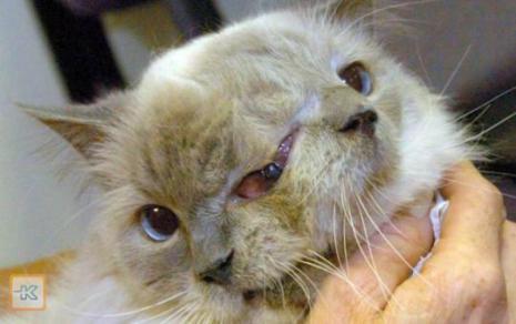 Kucing Langka Bermuka Dua Ini Meninggal dalam Usia 15 ...