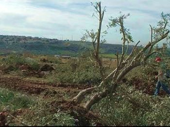 uprooted olive trees