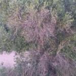 disseccamento ulivi - giovinazzo - xylella codiro