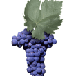 negroamaro grapes