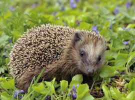 University of Salford to become haven for hedgehogs