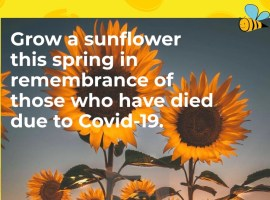 """""""It will be the best way to remember those we love"""" – Sunflowers being planted to remember those who have died from Covid-19"""