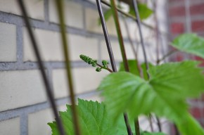 first tiny grapes