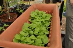 Tabakpflanzen