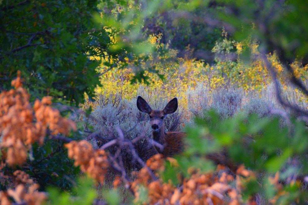 Deer in Fall Colors Near Salina Utah (photo courtesy of LaRea Rasmussen)
