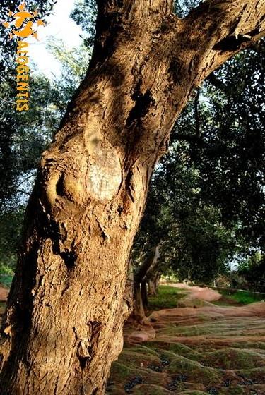 Lalbero di ulivo  Salogentis