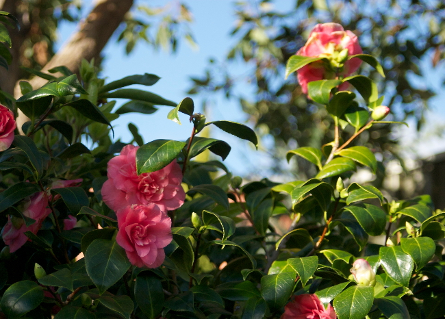 blooming pink camellia