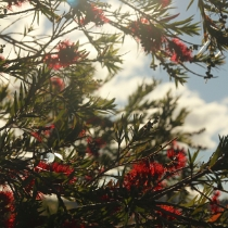 Bottlebrush Borders
