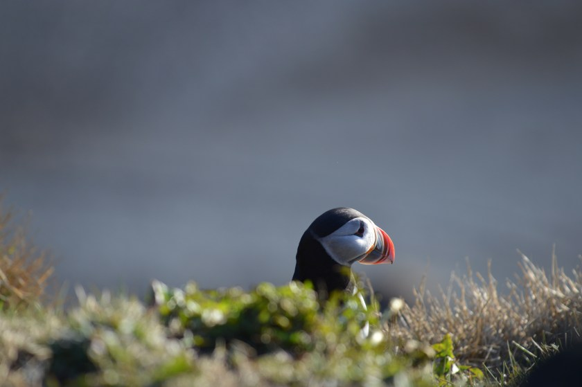 Iceland puffin photo