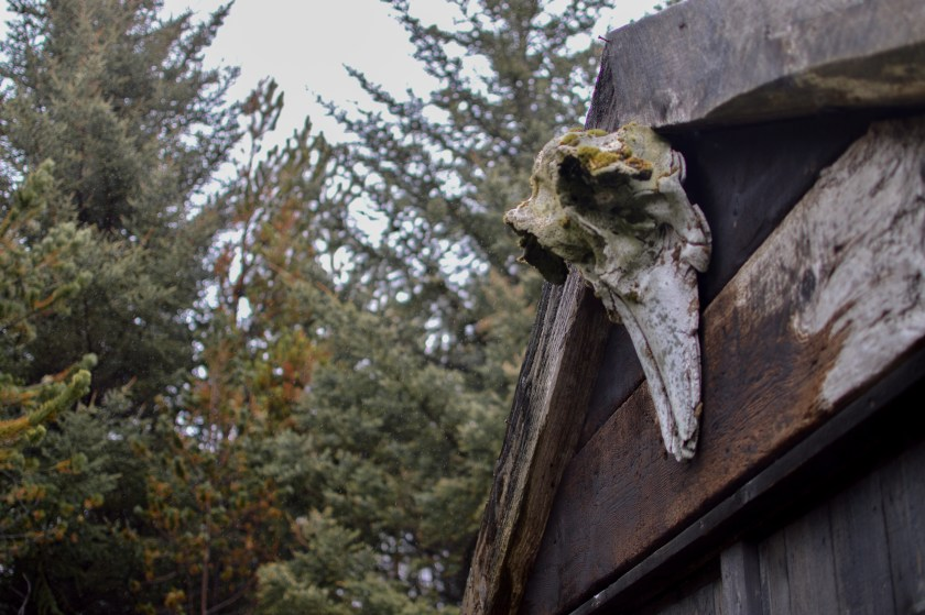 Deer skull on Icelandic house