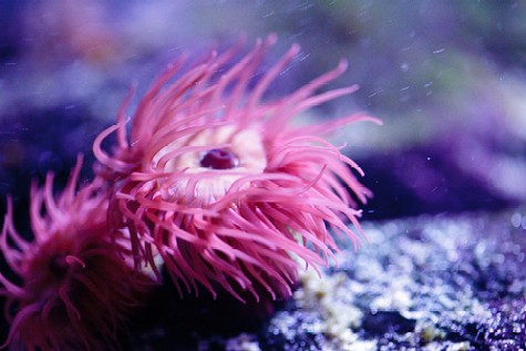 https://i0.wp.com/www.saltwater-aquarium-online-guide.com/image-files/pink_anemone.jpg