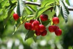 Propiedades de la Cereza. Beneficios para la salud