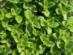 Orégano: beneficios, propiedades medicinales y sus contraindicaciones