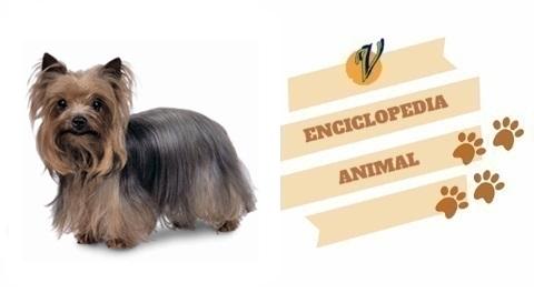 Yorkshire Terrier | Enciclopedia Animal