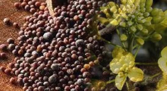 Propiedades medicinales de las semillas de mostaza negra