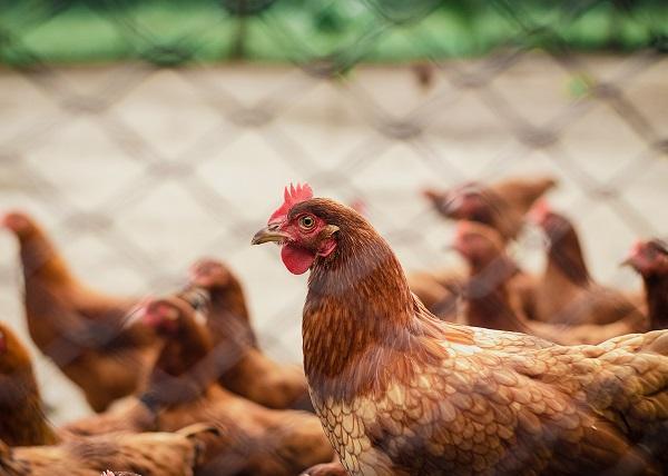 Lanzan en EE.UU. vacuna trivalente para aves de corral, protege contra la enfermedad de Newcastle