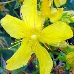 3 Plantas Medicinales Para la Depresión