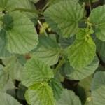 Psoralea Corylifolia, una Planta Medicinal para Tratar el Vitiligo