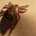 Guía sobre la Enfermedad de Lyme (Picadura de la Garrapata de Venado)