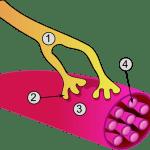 Acidosis Láctica ¿Qué es y Cuáles son sus Causas?