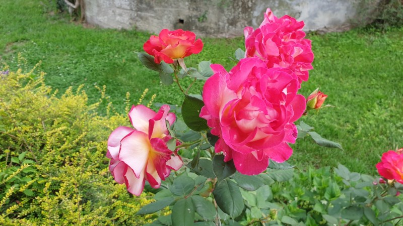 Le vostre foto: Rose di maggio