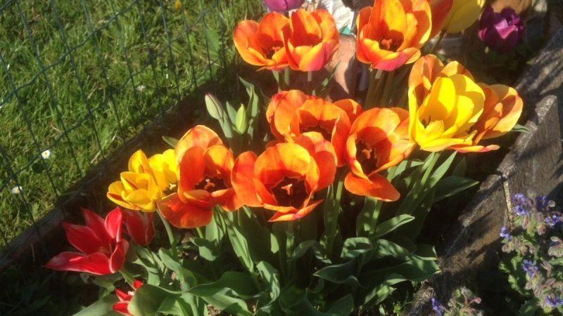 Le vostre foto: Tulipani a Prelle