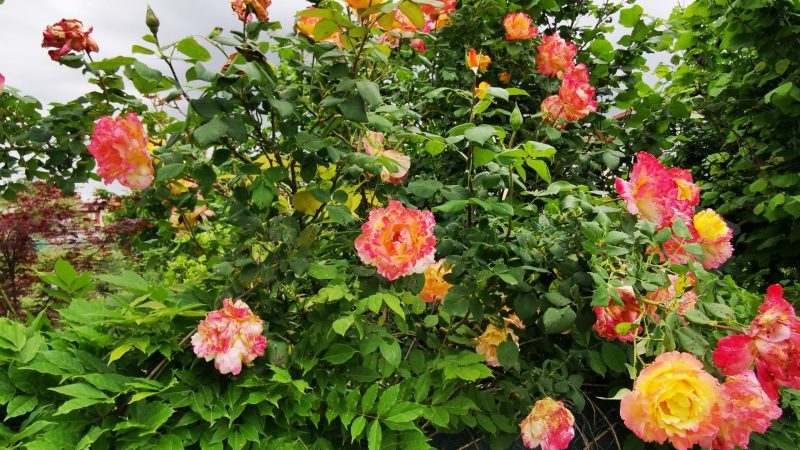 Le vostre foto: Rose, rose e rose