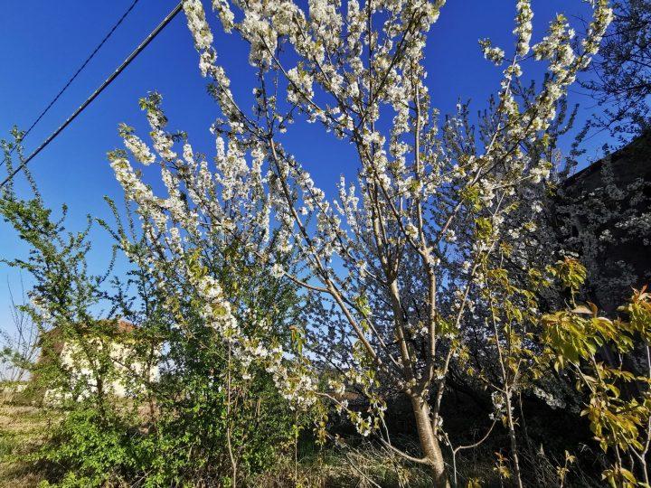 Ciliegi selvatici in fiore. FOTO