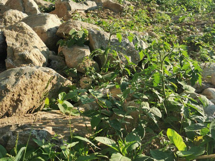 Tra il pietrame del sotto ponte ferroviario crescono i pomodori