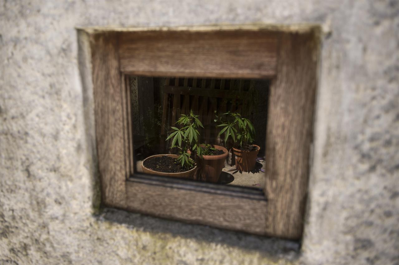 Cannabis: la coltivazione per uso personale è condotta penalmente rilevante?