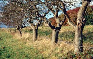Alte Obstbaumallee an der Straße zwischen Levedagsen und Thüste. (Foto: Wiegand, Okt. 02, HM-XXVI-31)