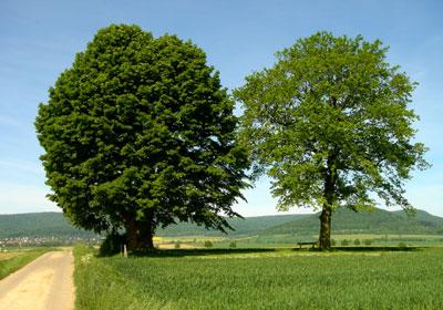 Die Tillylinde und rechts davon eine jüngere Eiche. (Foto: Pülm, Juni 2005)
