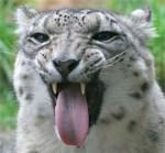 Yucky Snow Leopard
