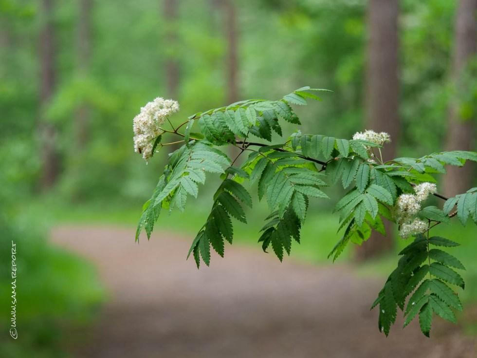 Blühende Ebereschen säumen den Weg